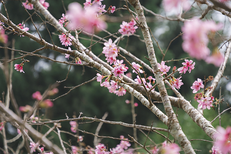 台灣賞櫻花景點推薦