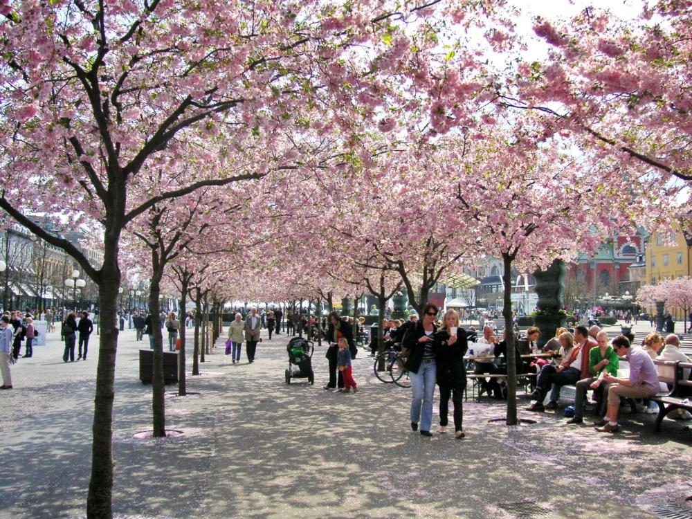 斯德哥爾摩-國王公園-櫻花