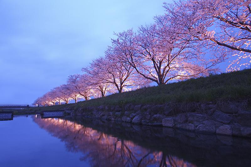 福岡舞鶴公園櫻花