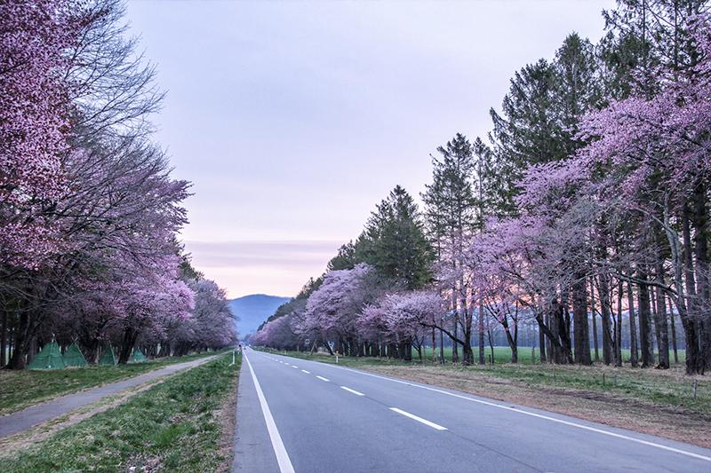 北海道二十間道路櫻並木