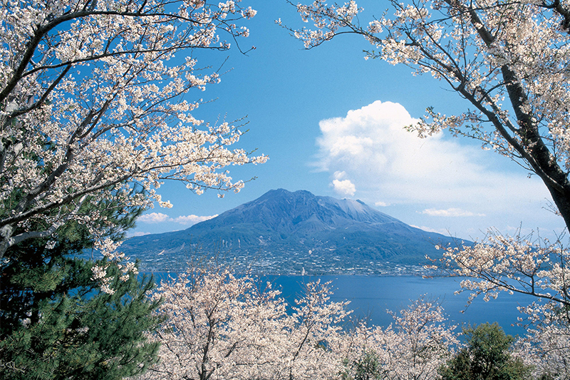 仙巖園櫻花——眺望活火山櫻島
