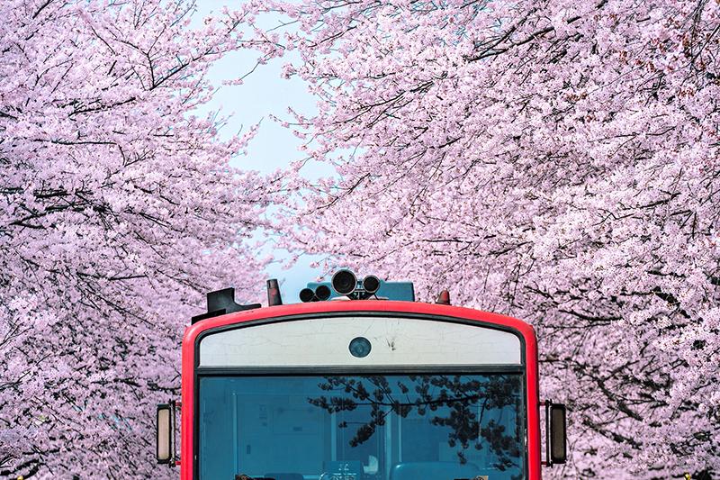 盤點韓國最美賞櫻花地點:釜山鎮海慶和火車站