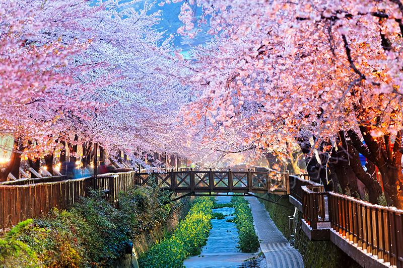 盤點韓國最美賞櫻花地點:釜山余佐川櫻花道