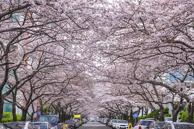 盤點韓國最美賞櫻花地點:釜山南川洞櫻花道