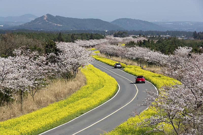 盤點韓國最美賞櫻花地點:濟州西歸浦