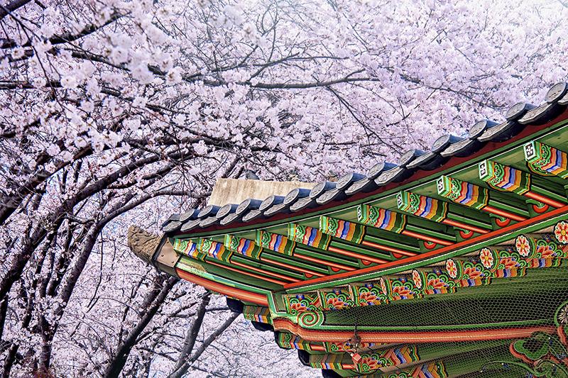 首爾景福宮櫻花