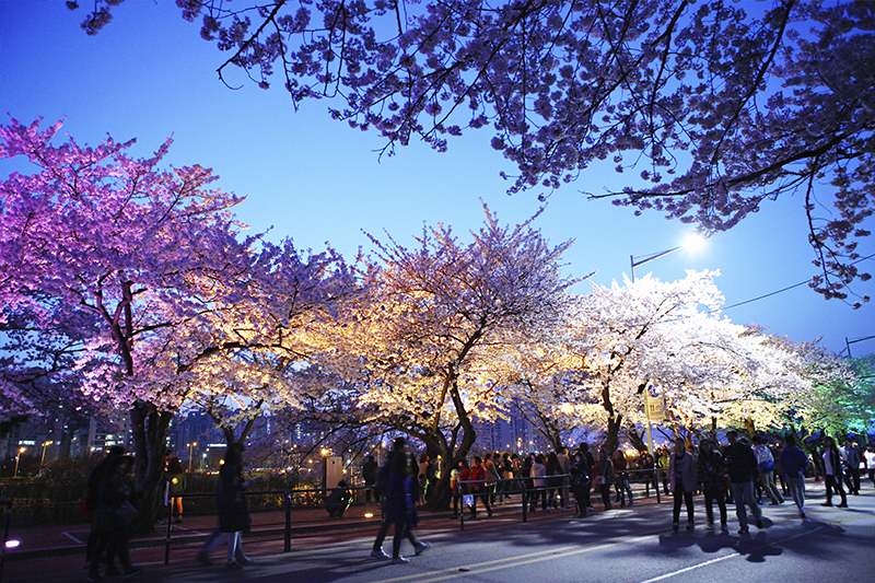 盤點韓國最美賞櫻花地點:首爾