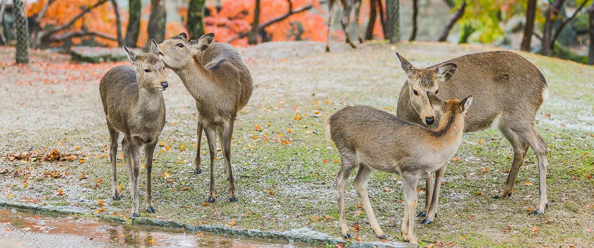 到奈良探訪可愛小鹿