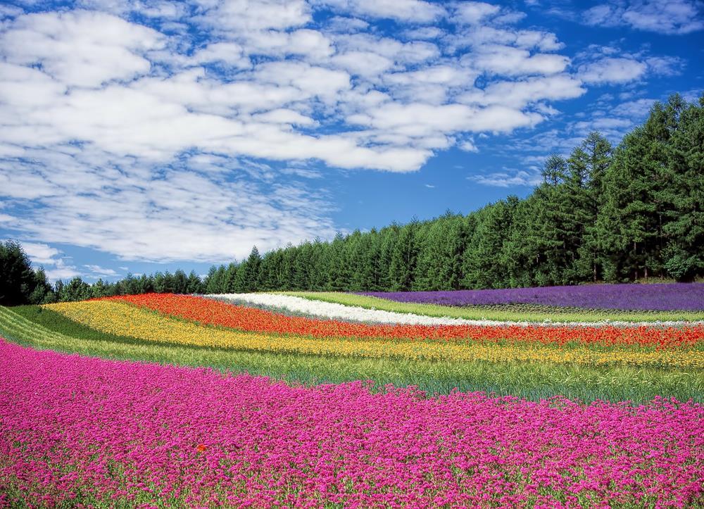 北海道景點-富良野薰衣草田